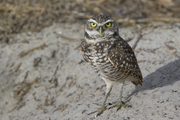 Burrowing Owl in Florida